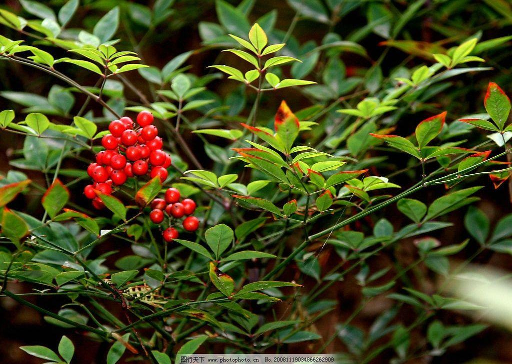 红豆 野果 树枝 相思豆 爱情 自然景观 自然风景 摄影图库 150dpi jpg