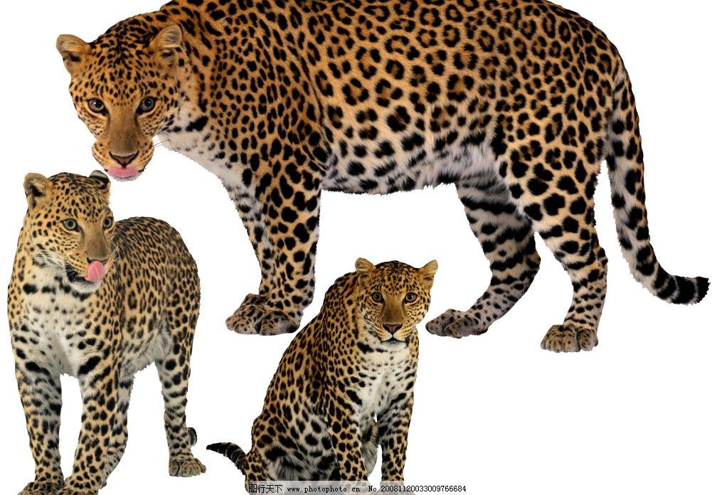 金钱豹 豹 猫科动物 野兽 猛兽 psd分层素材 其他 源文件库 300dpi