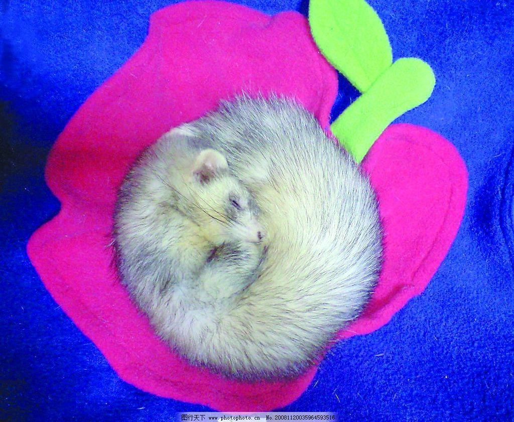 熟睡的雪貂 宠物 小动物 睡觉 睡眠中 圆形 雪貂 生物世界 家禽家畜