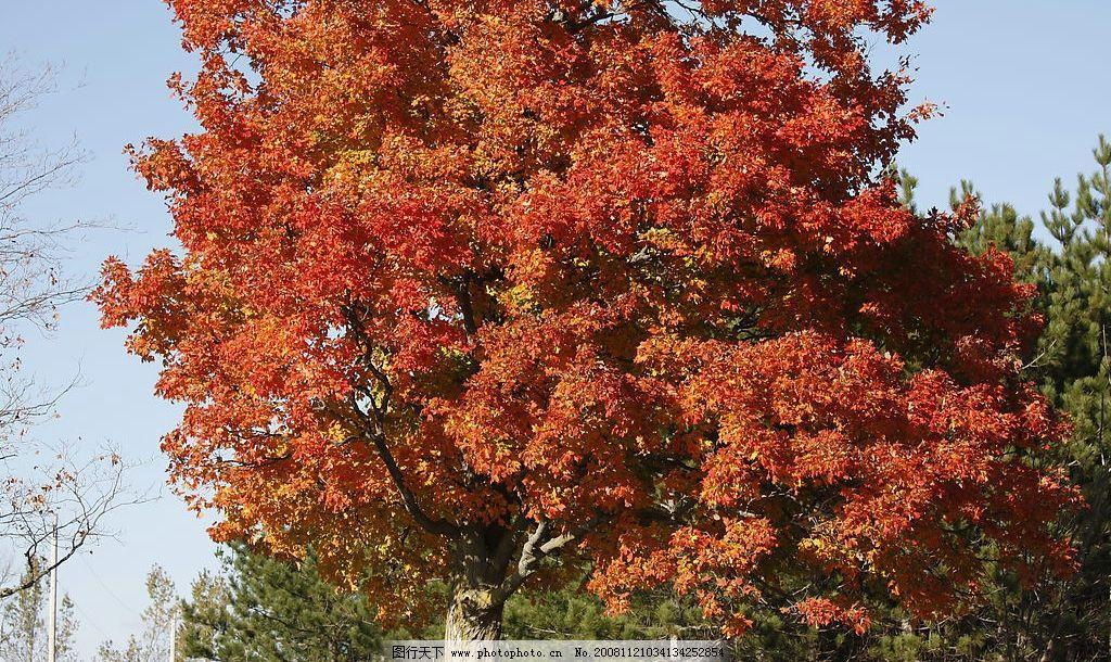 枫树 枫林 枫叶 红叶 黄叶 树林 树木 秋景 天空 旅游摄影 自然风景