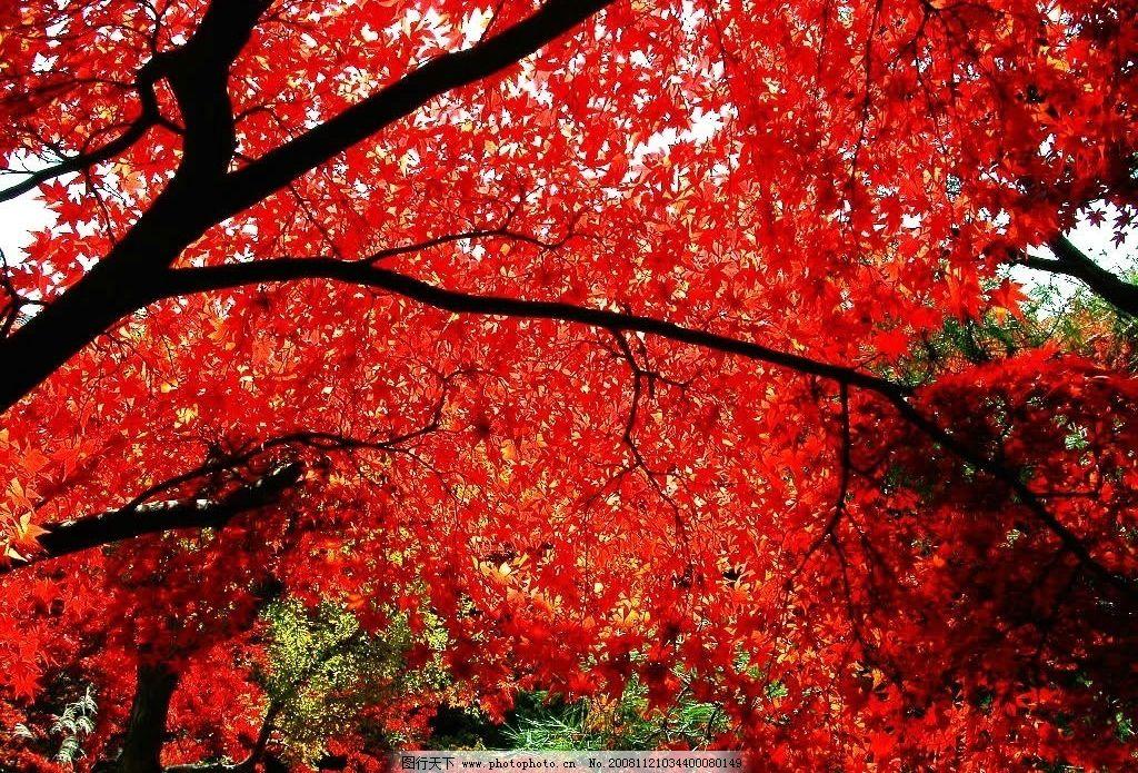 背景 壁纸 枫叶 红枫 绿色 绿叶 树 树叶 植物 桌面 1024_695