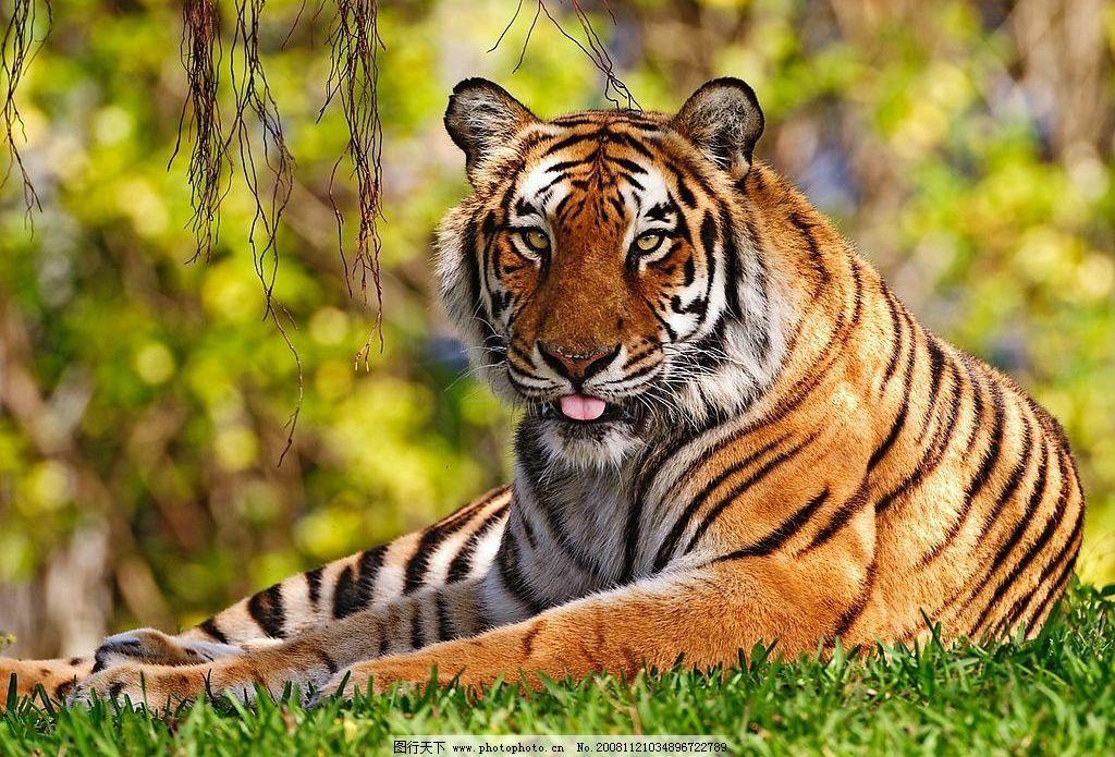 卧虎 高清 东北虎 动物 自然景观 自然风景 摄影图库 72dpi jpg