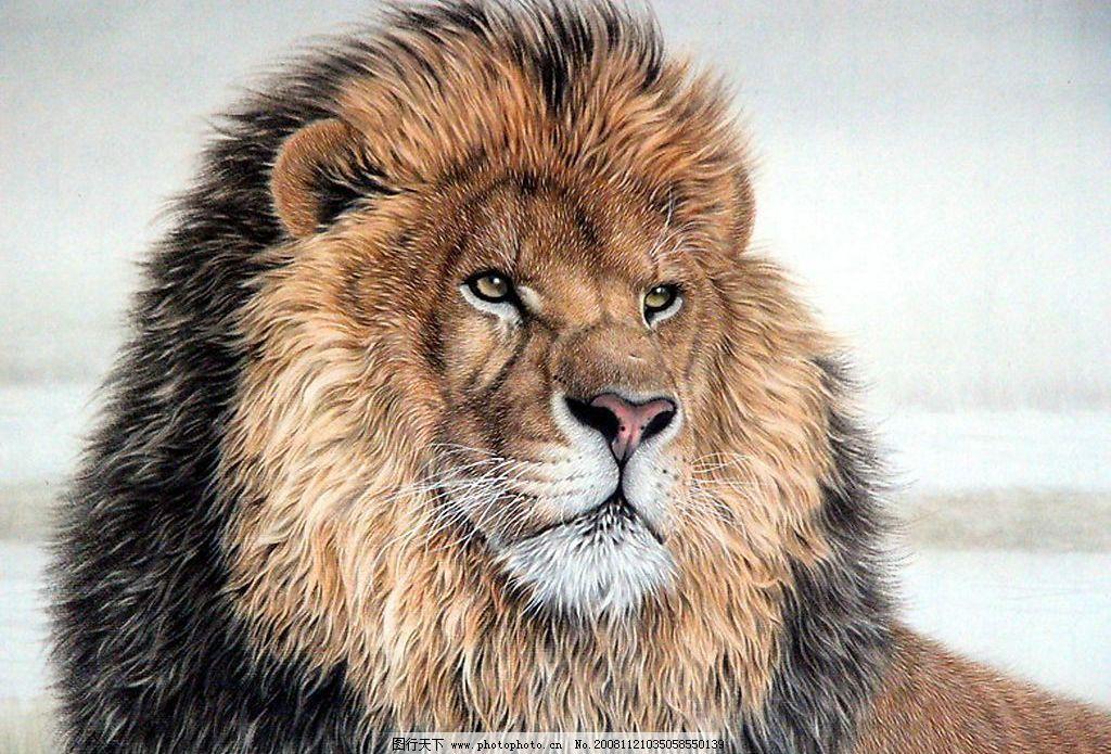 雄狮图片_野生动物_生物世界