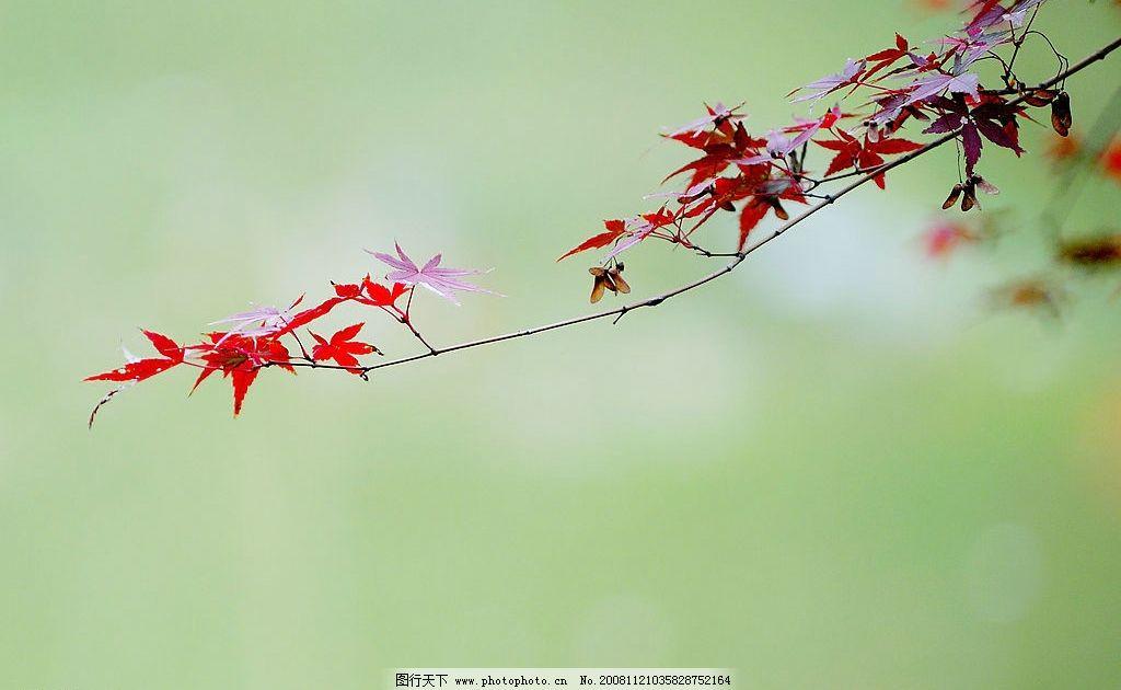 枫叶 红叶 红色枫叶 栖霞 秋天 秋季 自然景观 自然风景 摄影图库