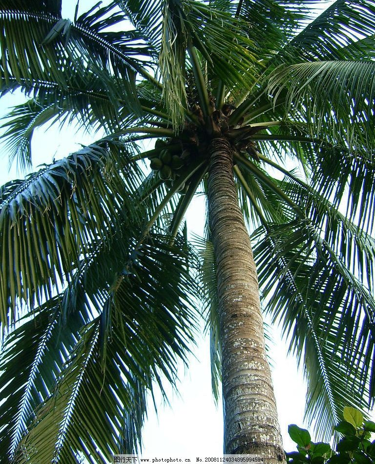 三亚 椰子树 文化艺术 舞蹈音乐 摄影图库