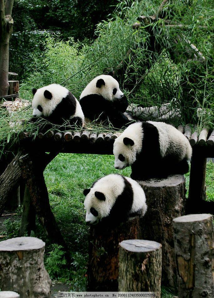 大熊猫 中国国宝 四川熊猫 生物世界 野生动物 摄影图库