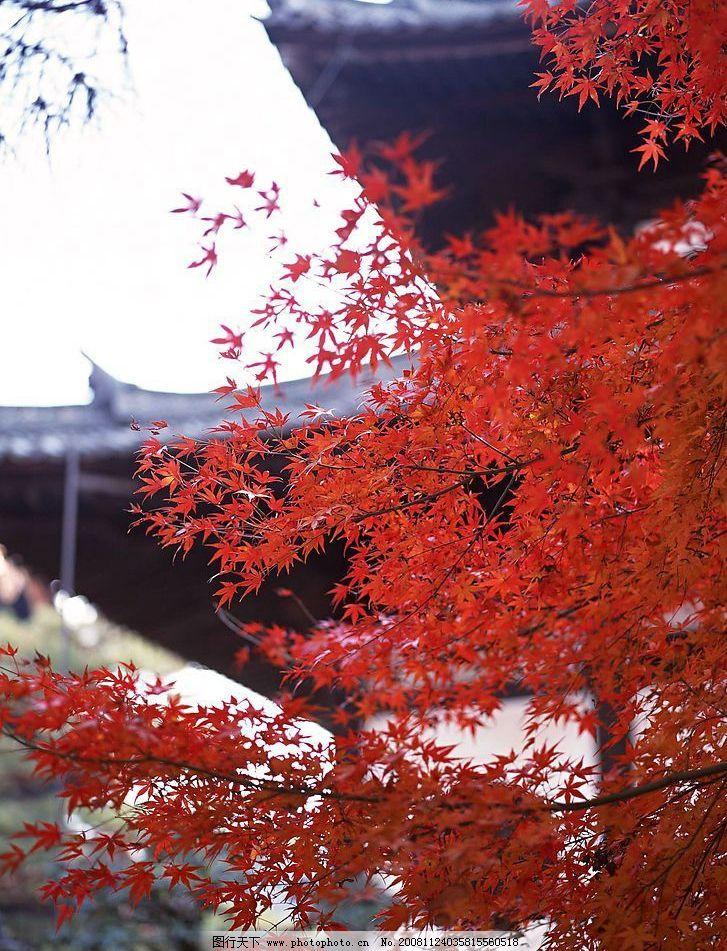 枫叶 红色枫叶 自然景观 自然风景 摄影图库 72dpi jpg