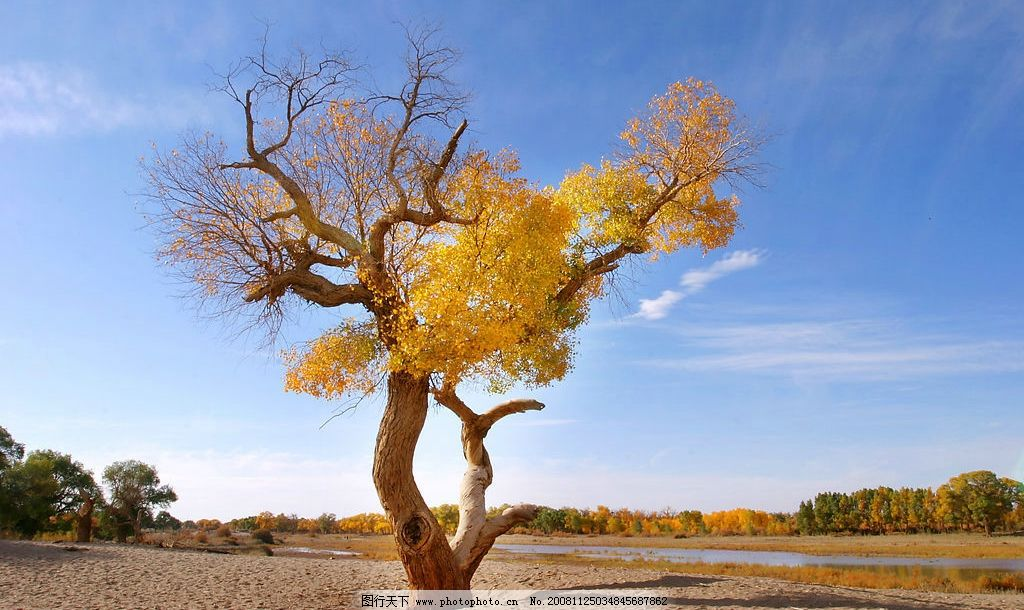 千年胡杨 胡杨树 沙漠 蓝天 白云 树木 树阴 自然景观 自然风景 摄影