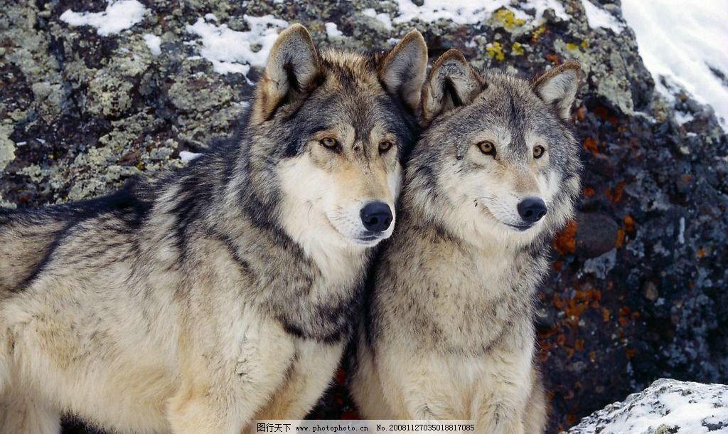 野狼 生物世界 野生动物 摄影图库