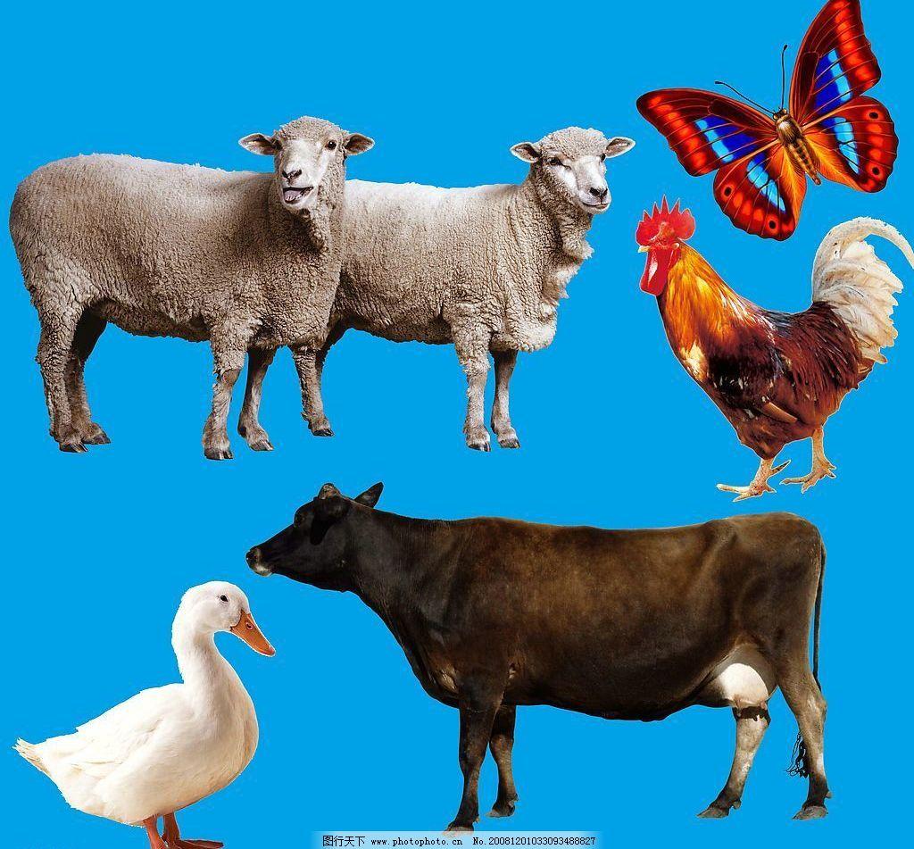 动物 羊鸡牛鸭 蝴蝶 高精素材 动物素材 源文件库