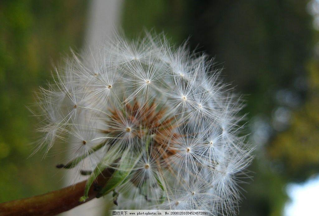 蒲公英 自然 风景 背景 山水风景 摄影图库