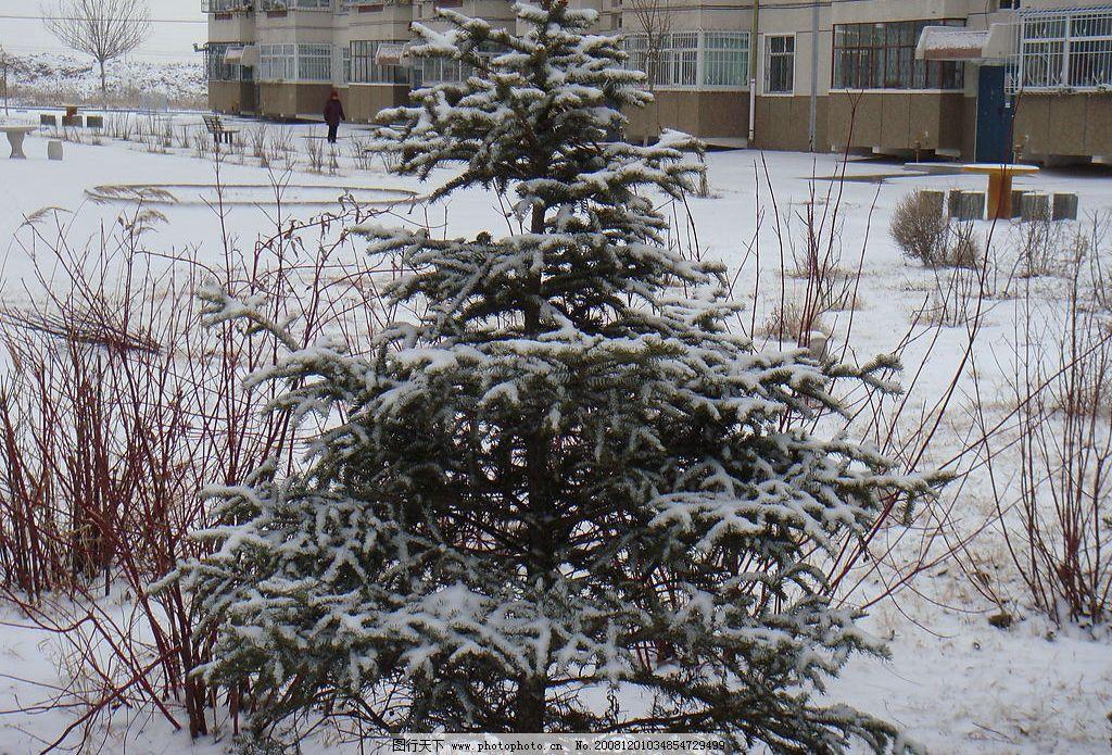 雪松 雪 小松树 自然景观 自然风景 摄影图库 风景图 72dpi jpg