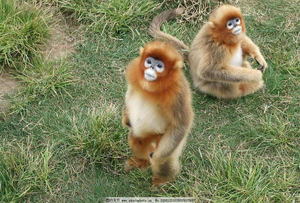 金丝猴 山东西霞口野生动物加园可爱金丝猴 摄影图库