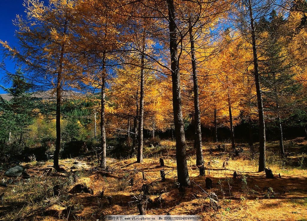 秋天 松树 松树林 山 森林 森林松树 秋天的松树 松树枝叶 阳光照射在