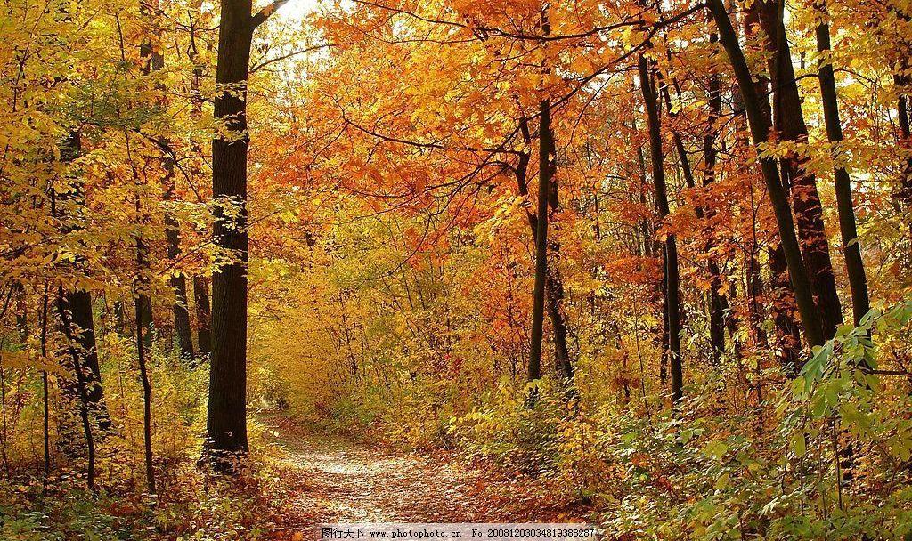 枫叶 红色枫叶 树木 树林 森林 秋天 小路 自然景观 自然风景 摄影