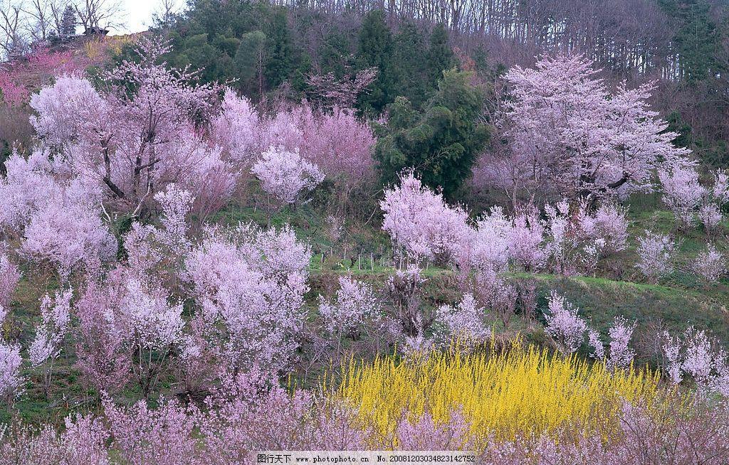 自然风景 樱花 自然景观 摄影图库 350dpi jpg
