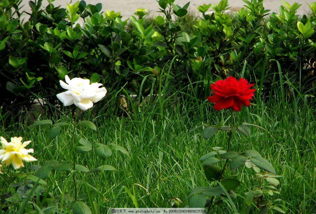 月季花 自然 风景 摄影图库