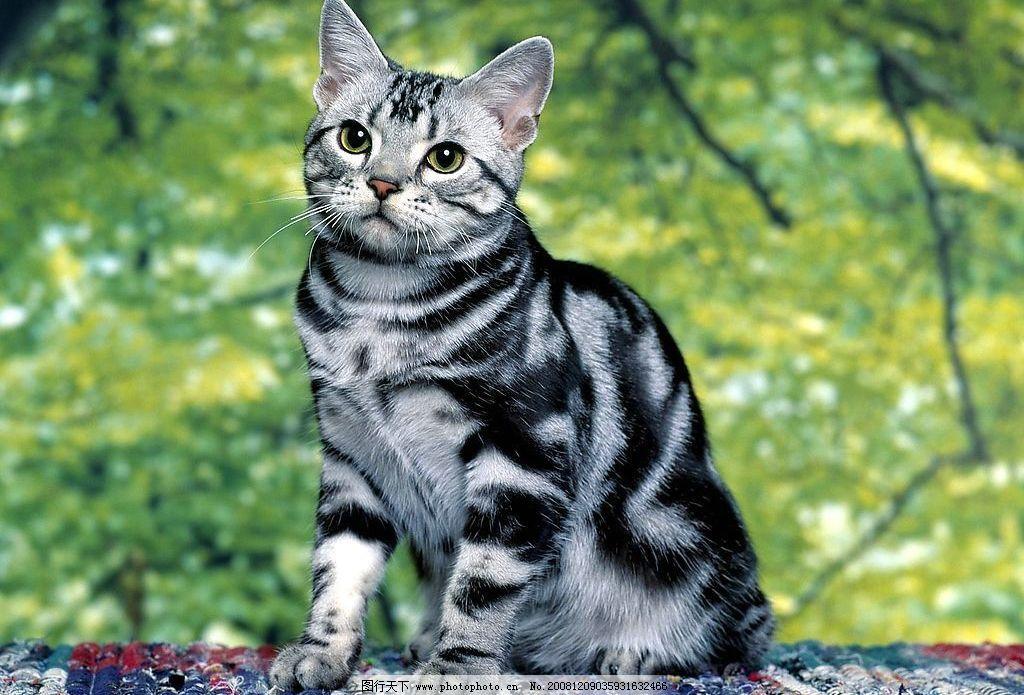 可爱的猫 猫眼 宠物 宠物猫 绿色背景 花斑毛 猫耳朵 猫鼻子