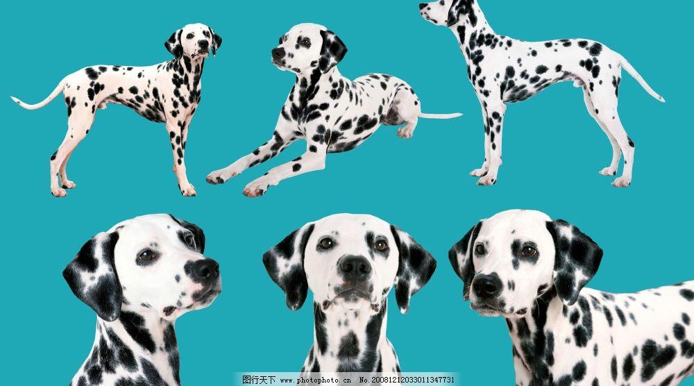 动物写真 可爱小狗 斑点狗 psd分层小狗 psd分层素材 其他 源文件库