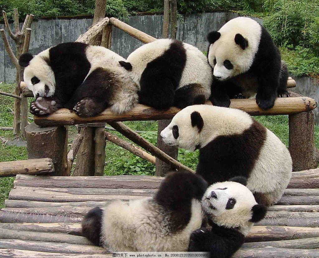 可爱的大熊猫 熊猫 大熊猫 可爱 生物世界 野生动物 摄影图库 72dpi