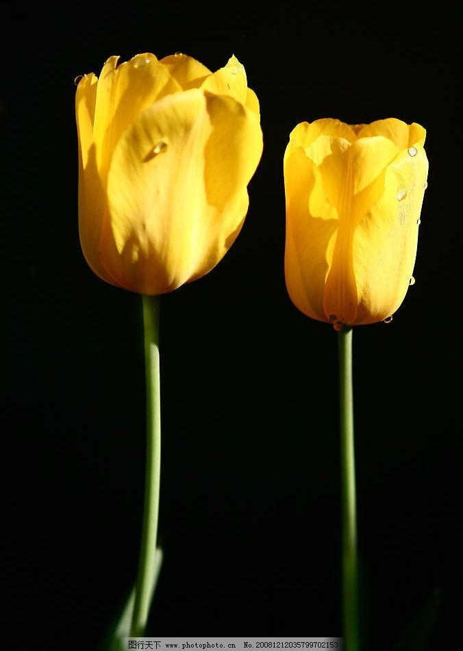 郁金香组照 花卉 旅游摄影 自然风景 摄影图库