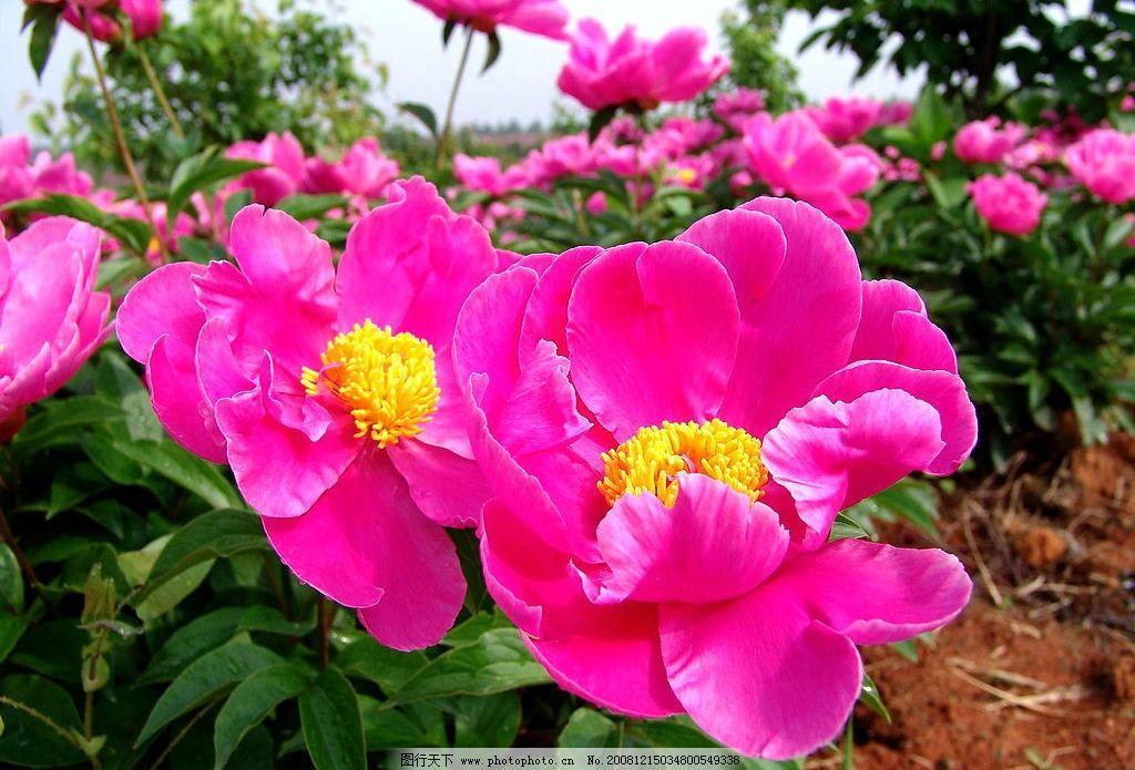 红花绿叶 大红花 花高清写真 自然景观 自然风景 摄影图库 72dpi jpg