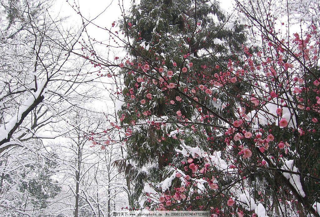 雪中红梅 杭州 植物园 大雪 树 摄影 雪景 梅花 自然景观 自然风景
