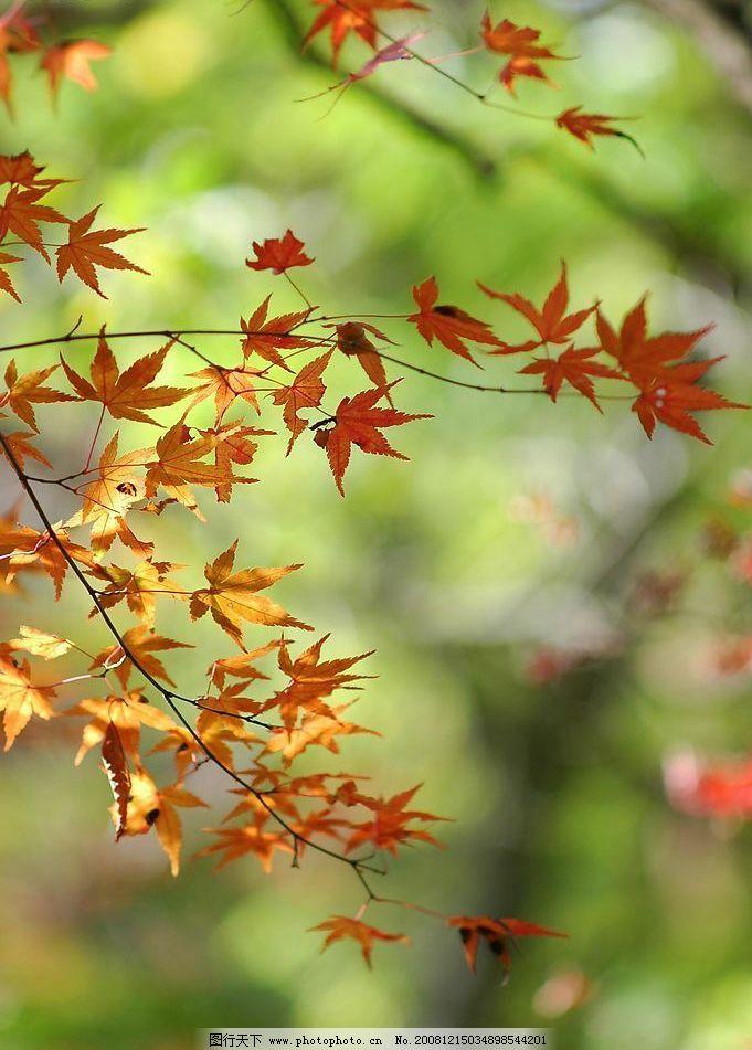 枫叶 秋天 自然 风景 树叶 户外 黄叶 季节 摄影图库