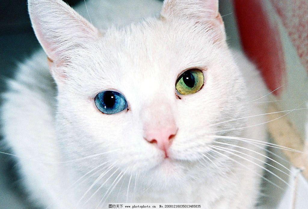 白猫 猫 白色 生物世界 野生动物 摄影图库 4dpi jpg