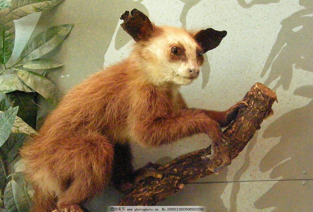 最濒危的野生动物-指狐猴图片