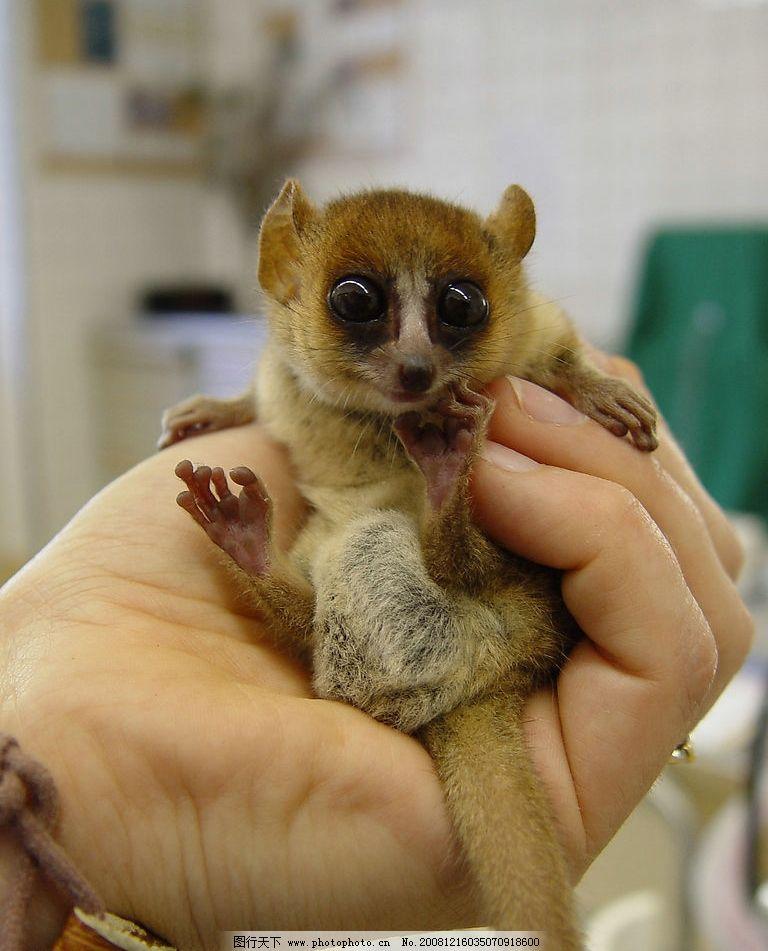 最濒危的野生动物指狐猴 指狐猴 生态平衡 拯救濒危 马达加斯加 生物