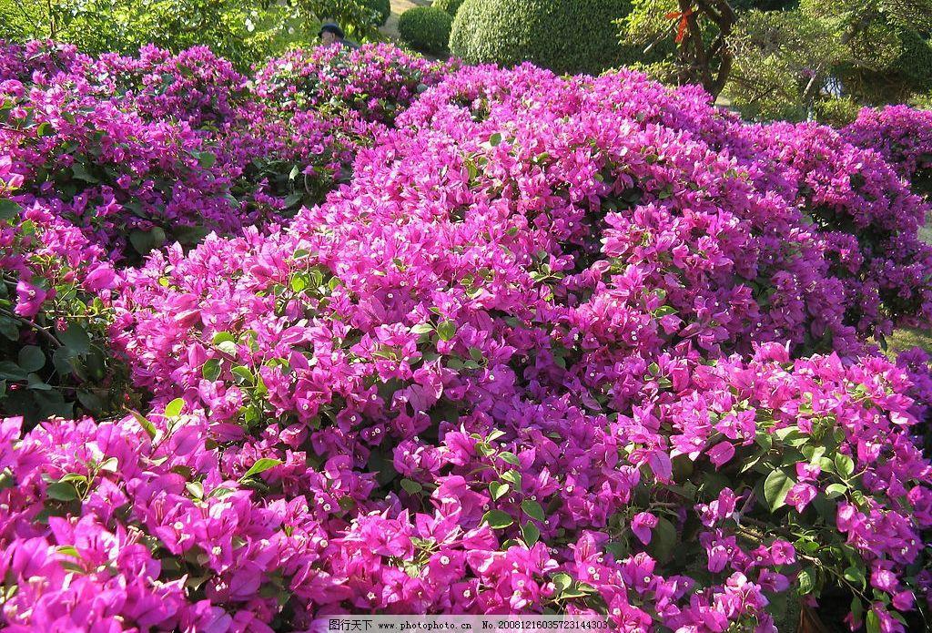 三角梅 花 艳丽 灿烂 自然景观 自然风景 摄影图库 180dpi jpg 生物
