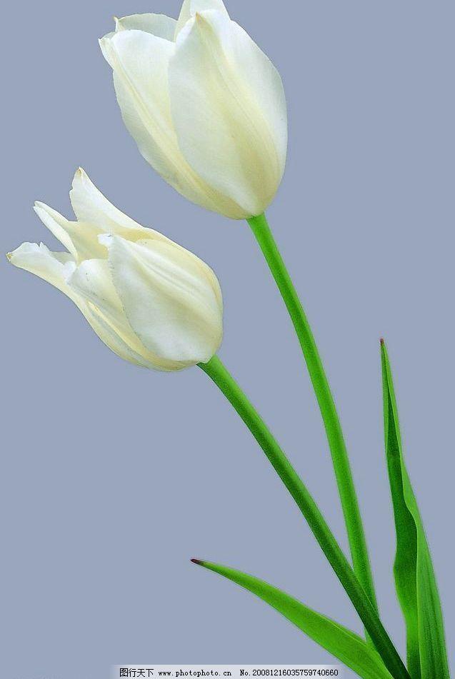 漂亮花朵 百合花 自然景观 自然风景 摄影图库