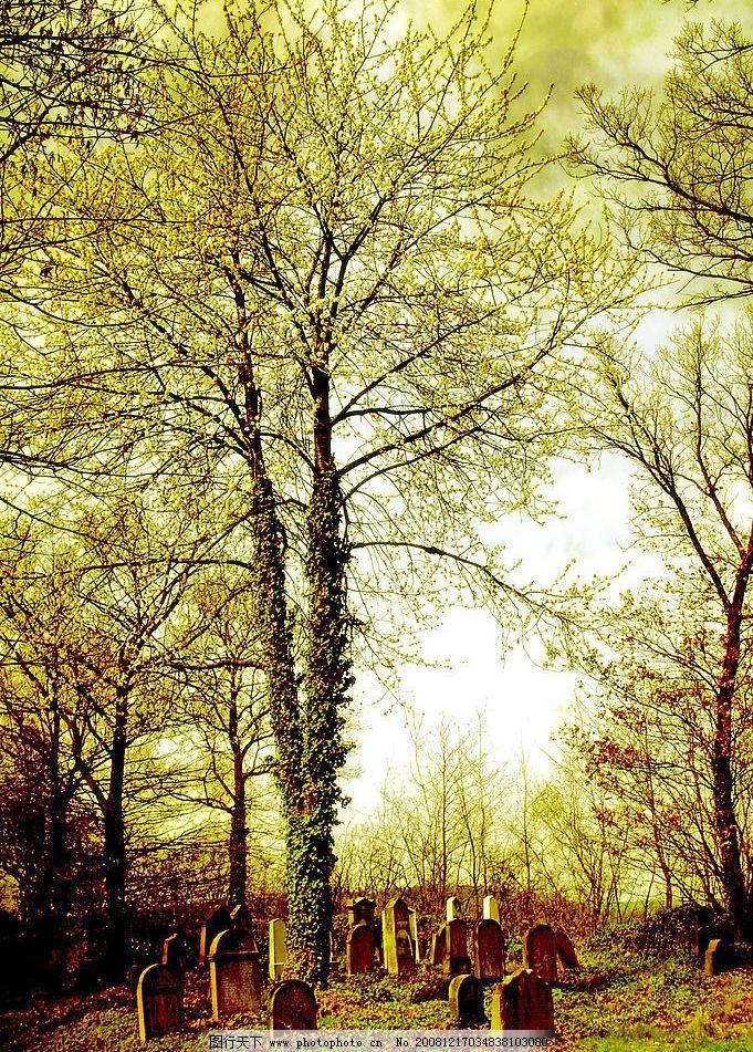 墓碑围着的树 干树 苔 树林 树开花 秋天 金秋 雨后 山坡 清新
