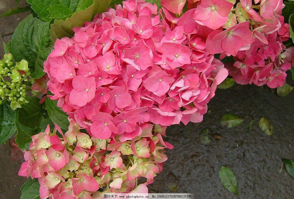 绣球花 自然景观 自然风景 摄影图库 72dpi jpg 生物世界 花草
