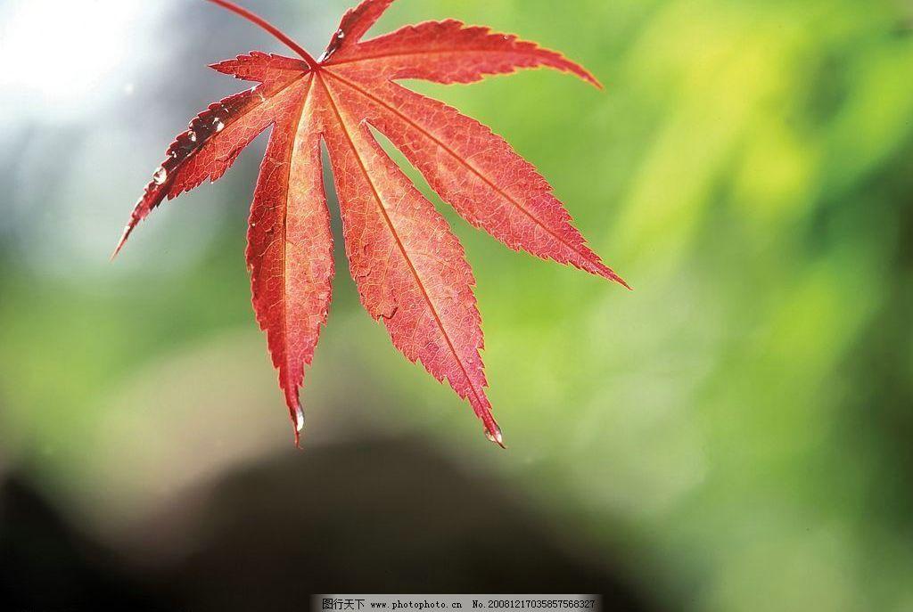 红色枫叶 树叶 植物 自然景观 自然风景 摄影图库