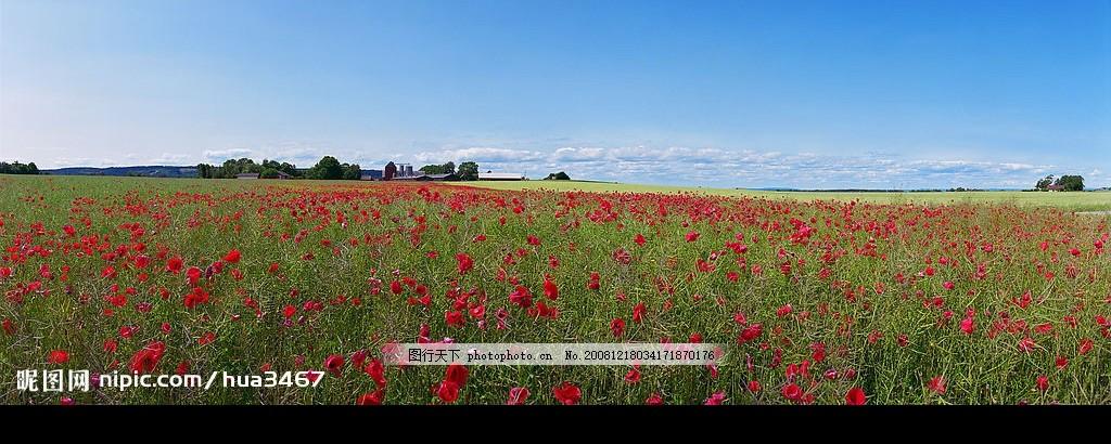 花海,红花 田野 花的海洋 农场 横幅大图 蓝天绿地-图