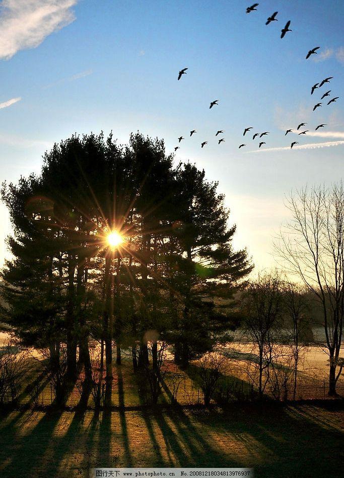 大雁 清晨大雁 阳光 大雁归巢 树林 蓝天 自然景观 自然风景 摄影图库