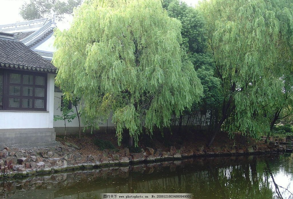 杨柳树 门前杨柳 河边的杨柳 柳树 自然景观 自然风景 摄影图库 72dpi