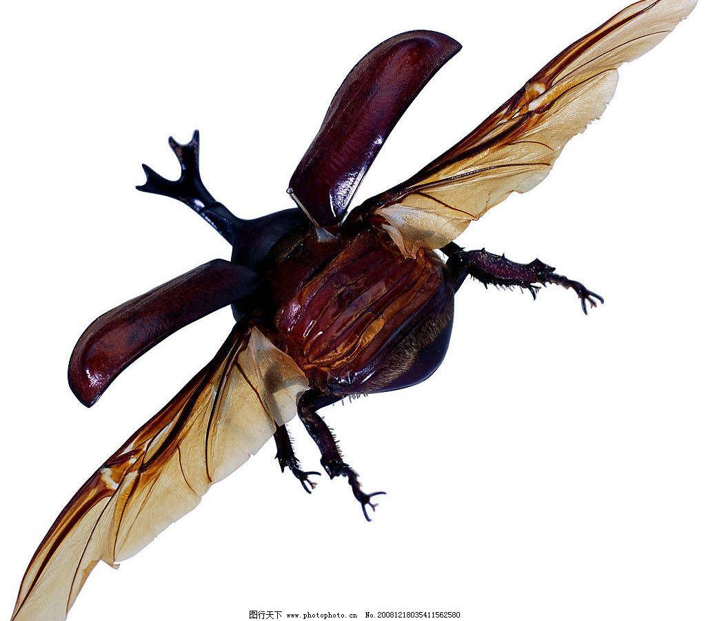 昆虫 天牛 飞翔的虫子 扁秋 可爱 翅膀 甲虫 动物世界 角质