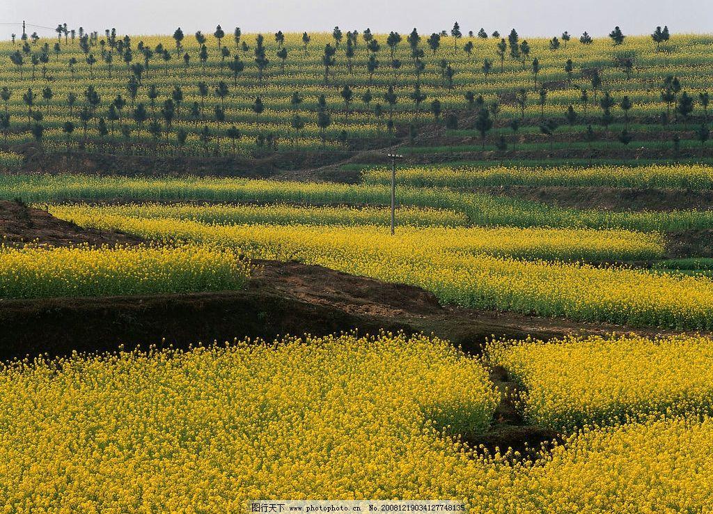 油菜花 树 山坡 田地 旅游摄影 自然风景 摄影图库 300dpi jpg