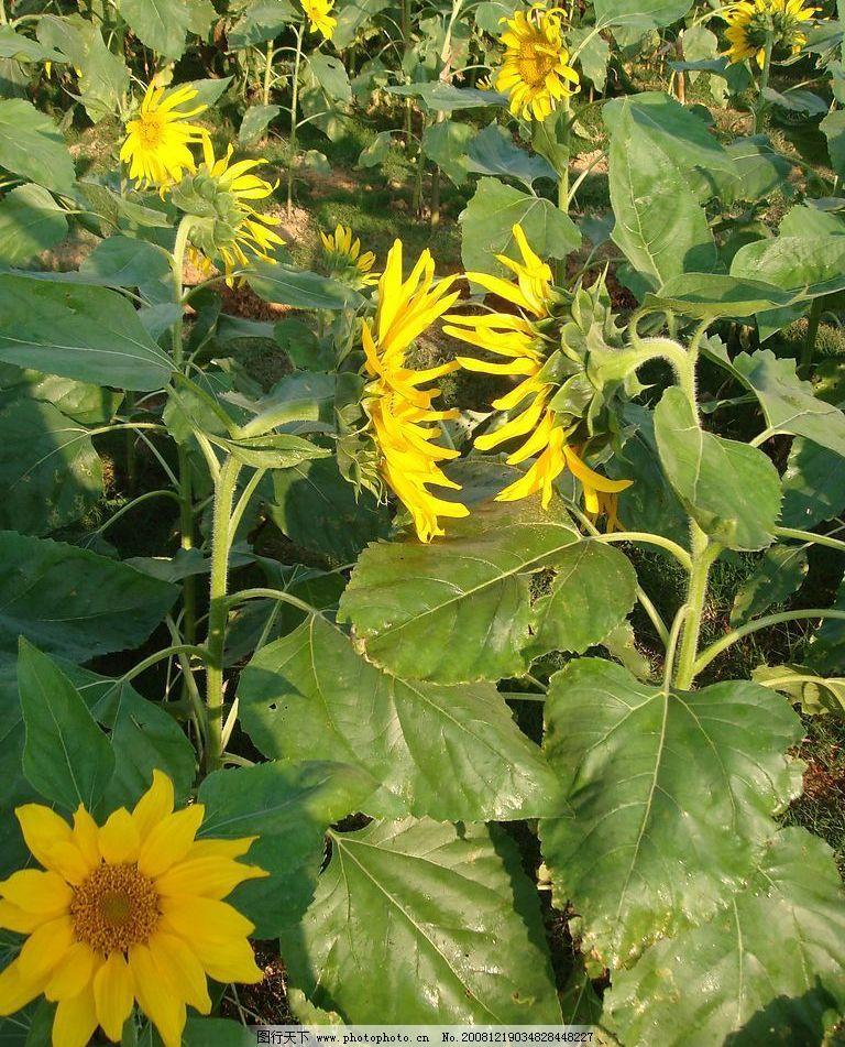 向日葵 对视 自然景观 自然风景 摄影图库 72dpi jpg
