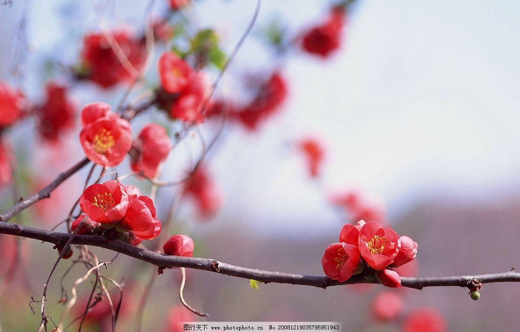 梅花 树枝 花枝 自然景观 自然风景 摄影图库 350dpi jpg 生物世界