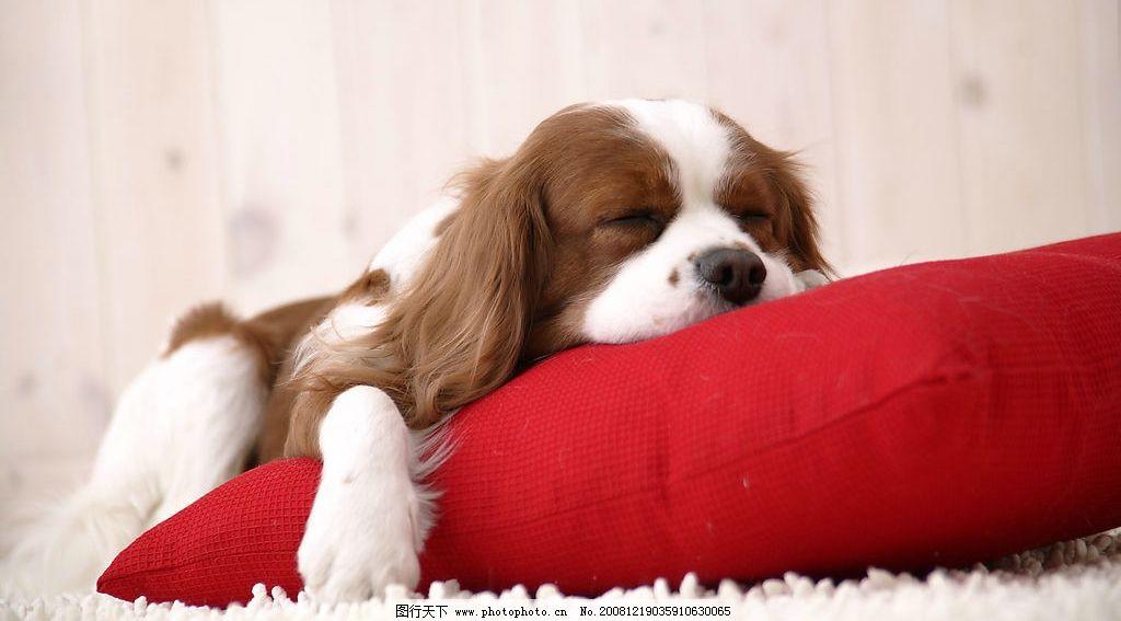 小狗 可爱 睡觉 生物世界 家禽家畜 摄影图库 350dpi jpg