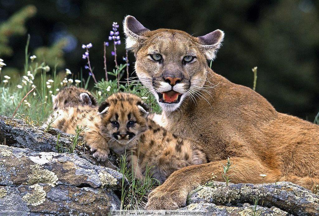 野生动物 猎豹图片