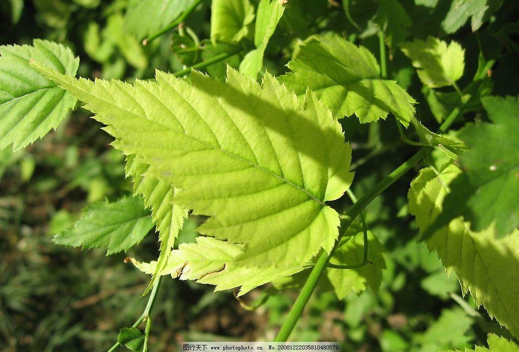 秋天的叶子 叶子 秋天 树叶 绿叶 生物世界 树木树叶 摄影图库 180dpi