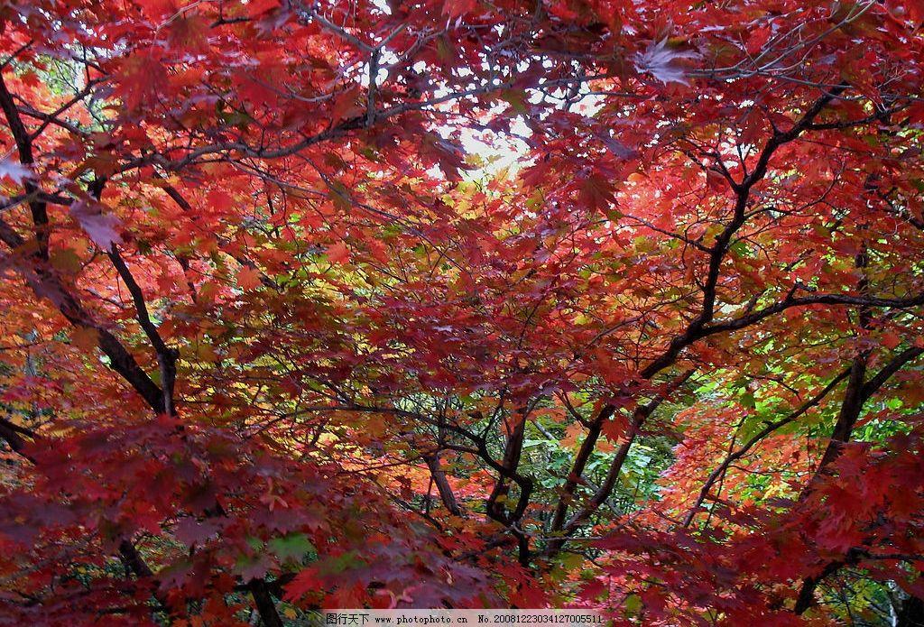 一片红 枫叶 枫树 旅游摄影 自然风景 摄影图库 180dpi jpg
