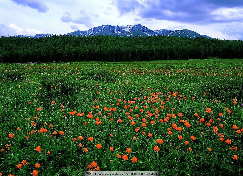 阿尔泰金莲花图片_自然风景_自然景观_图行天下图库