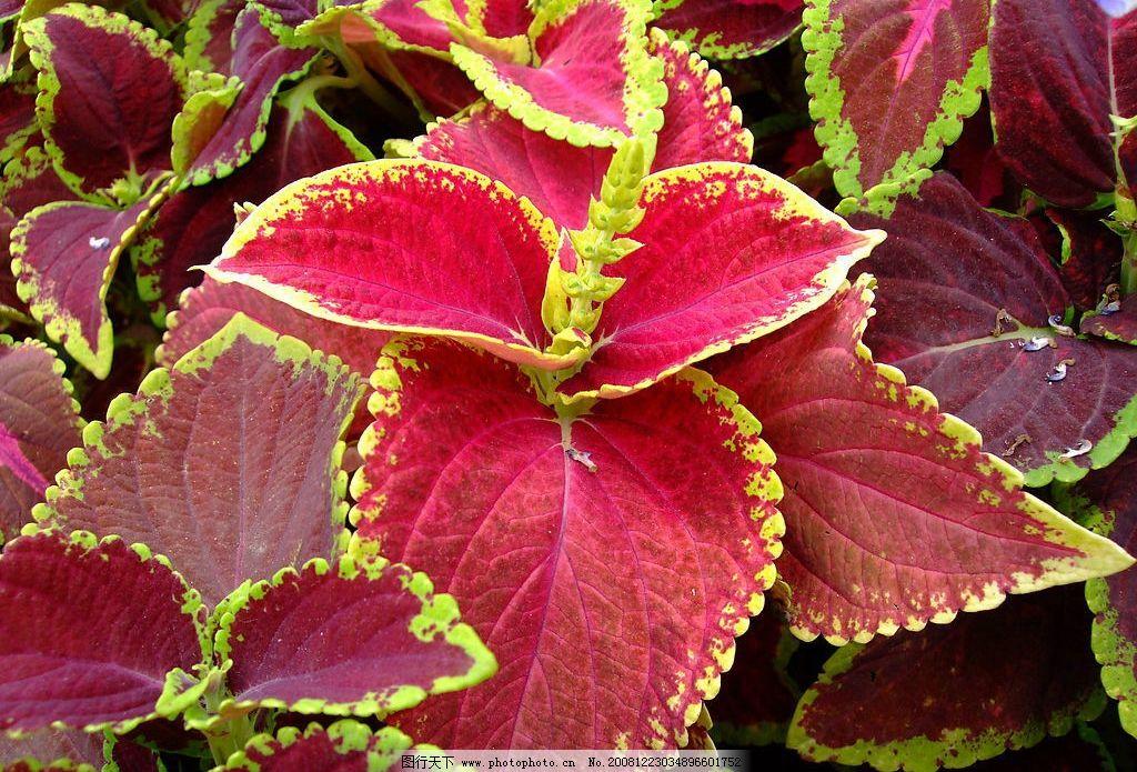 叶子 红色叶子 花 自然景观 自然风景 摄影图库