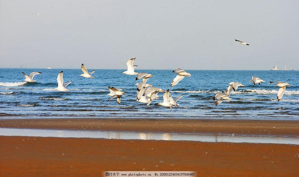 海边的海鸥图片